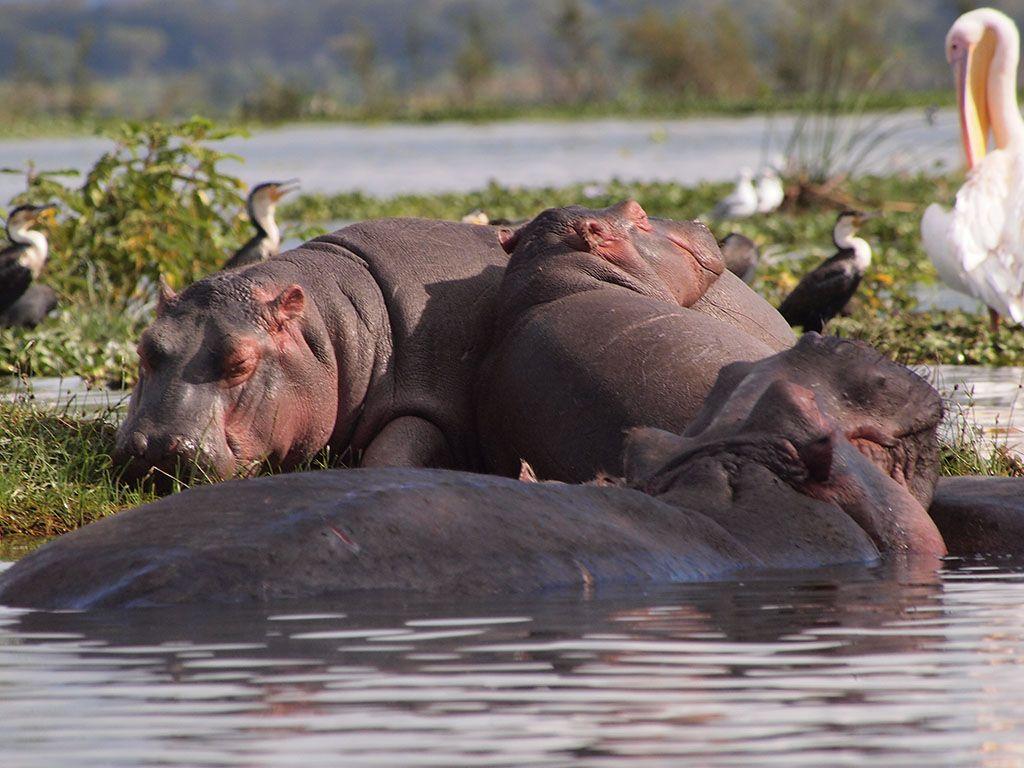 Национальный парк озера Найваша Вест Тревел Груп Кения